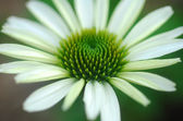Echinacea purpurea white coneflower flower — Stock Photo