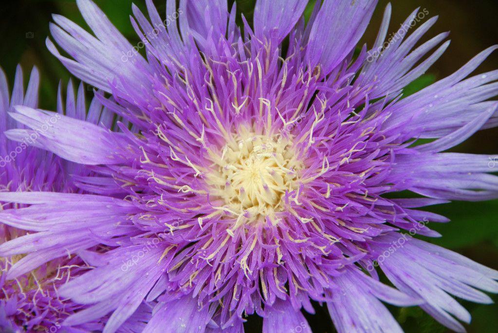 Asters Flowers Purple Purple Pink Stokes Aster