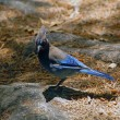 Blue Jay bird — Stock Photo
