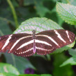 Black white Zebra Longwing Butterfly insect — Stock Photo #30832505