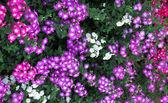 Pink vinca periwinkle flower — Stock Photo
