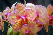 Phalaenopsis yellow red orchid flower — Stock Photo
