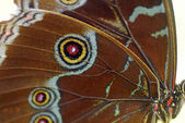 Brown White Butterfly wing — Stock Photo