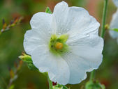 White Alcea hollyhock flower — Stock Photo