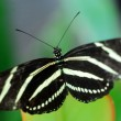 Black white Zebra Longwing Butterfly insect — Stock Photo #31252243