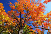 Orange Maple Tree Fall Foliage — Стоковое фото