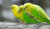 Yellow green budgie parrot pet bird — Stock Photo