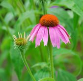 Echinacea purpurea pink coneflower flower — Stock Photo