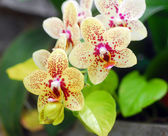 Green yellow orchid flower — Stock Photo