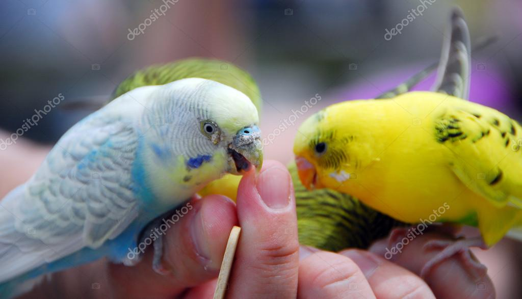 Yellow And Green Parrots Yellow Green Budgie Parrot Pet