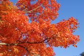 Orange Maple Tree Fall Foliage — Stock Photo