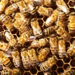 Bees work on honeycomb — Stockfoto