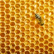 Bees work on honeycomb - 