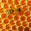 One bee works on honeycomb -  