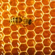 One bee works on honeycomb - Zdjęcie stockowe