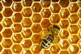 Bees work on honeycomb with sweet honey — Stock Photo