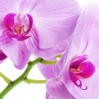 Orchid phalaenopsis flowers isolated on white — 图库照片