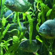 Piranha in tropical river - Stock Photo