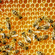Close up view of the working bees on honey cells — Stock Photo #21815155