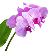 Orchid phalaenopsis flowers isolated on white — Stock Photo