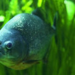 Piranha in tropical river - ストック写真