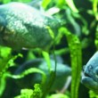 Piranha in tropical river - Stockfoto