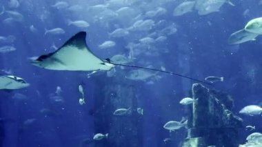 Manta ray floating underwater among other fish — Stock Video