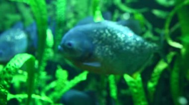 Piranha in tropical river — Stock Video