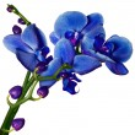 Orchid phalaenopsis flowers isolated on white — Stock Photo
