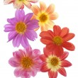 Dahliflowers — Stockfoto #12754271