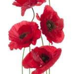 Poppy flowers — Stock Photo