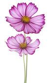 Flores cosmos — Foto de Stock