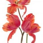 Tulip flowers — Stock Photo #14142435