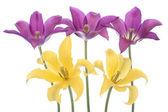 Fiori di tulipano — Foto Stock