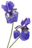 Iris květiny — Stock fotografie