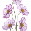 Cosmos flowers — Stock Photo