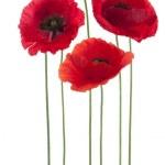 Постер, плакат: Poppy flowers