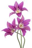 Kwiatów tulipanów — Zdjęcie stockowe