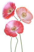 罂粟的花 — 图库照片