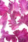 Лепестки гладиолуса — Стоковое фото