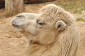 Head camel — Stock Photo