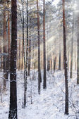 Beams through frosty fog in the winter pine wood — Stock Photo