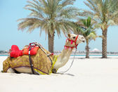 Camel resting on the beach — Foto de Stock