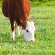 Close up portrait of the white and brown cow  — Stock Photo
