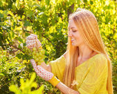 Woman winegrower picking grapes at harvest time — Stock Photo
