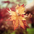 Hand of a woman holding maple leaves — Stock Photo