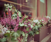 Pink and purple heather and ivy in decorative flower pot — Photo
