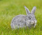 Cute little grey rabbit on green grass — Stock Photo