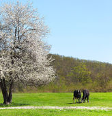 Single blossoming lonely tree with two cows near it — Stock Photo