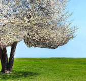 Single blossoming tree in spring — Stock Photo